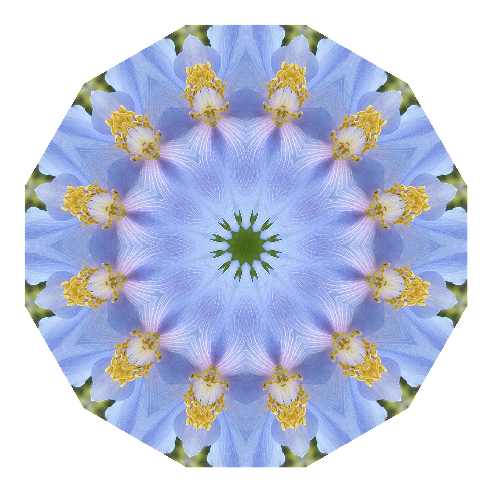 Meconopsis 01