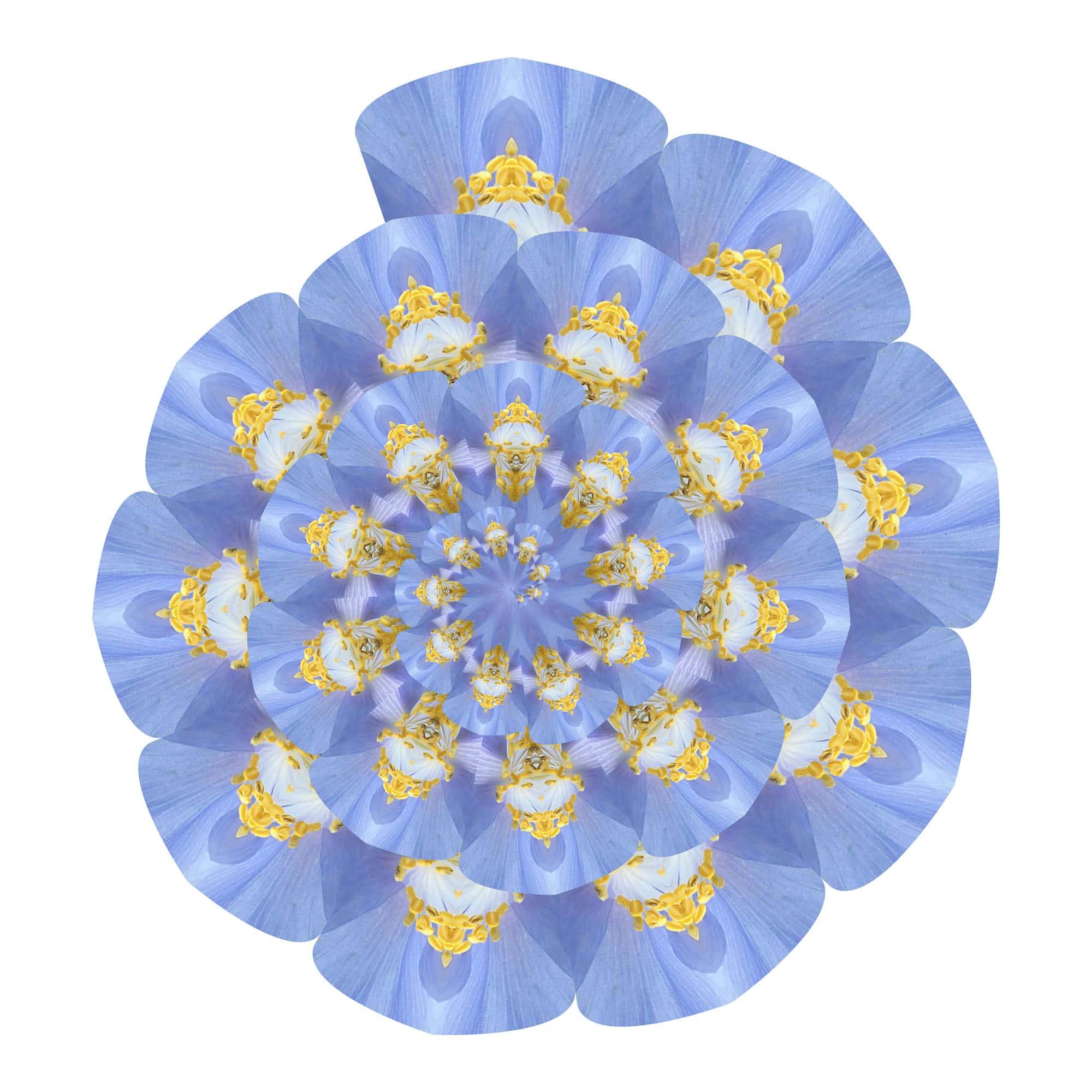 Meconopsis Spirale 01